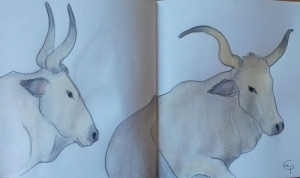 Vacche maremmane